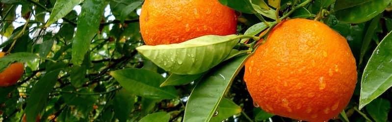 Wild orange tree